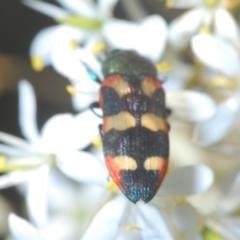 Castiarina sexplagiata (Six-spotted Castiarina jewel beetle) at Aranda Bushland - 17 Jan 2021 by Harrisi