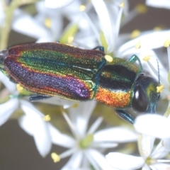 Selagis caloptera (Caloptera jewel beetle) at Black Mountain - 17 Jan 2021 by Harrisi