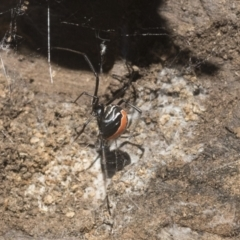 Latrodectus hasselti (Redback Spider) at Higgins, ACT - 17 Jan 2021 by AlisonMilton