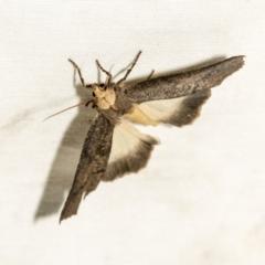 Fisera eribola (Orange-hooded Crest-moth) at Black Mountain - 8 Apr 2019 by AlisonMilton
