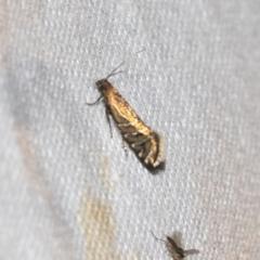 Glyphipterix perimetalla (Five-bar Sedge-moth) at Black Mountain - 8 Apr 2019 by AlisonMilton