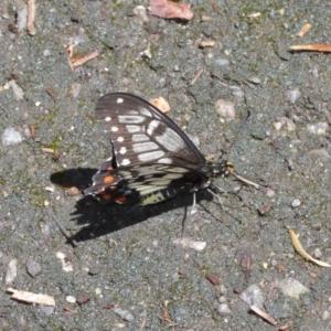 Papilio anactus at ANBG - 17 Jan 2021