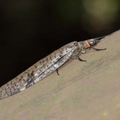 Archichauliodes (Riekochauliodes) guttiferus at ANBG - 15 Jan 2021