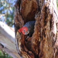 Callocephalon fimbriatum (Gang-gang Cockatoo) at Red Hill Nature Reserve - 17 Jan 2021 by LisaH