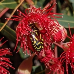 Eupoecila australasiae (Fiddler Beetle) at Currawang, NSW - 17 Jan 2021 by camcols