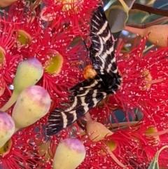 Comocrus behri (Mistletoe day moth) at Currawang, NSW - 17 Jan 2021 by camcols