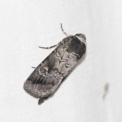 Proteuxoa restituta (An owlet moth) at Black Mountain - 8 Apr 2019 by AlisonMilton