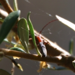 Syllitus sp. (genus) (Syllitus longhorn beetle) at Red Hill Nature Reserve - 17 Jan 2021 by LisaH