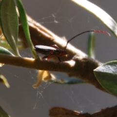 Syllitus sp. (genus) at Red Hill Nature Reserve - 18 Jan 2021