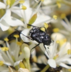 Microvalgus sp. (genus) (Flower scarab) at Red Hill Nature Reserve - 17 Jan 2021 by LisaH