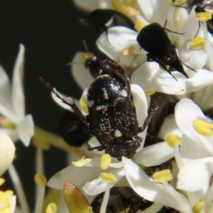 Microvalgus sp. (genus) at Red Hill Nature Reserve - 18 Jan 2021