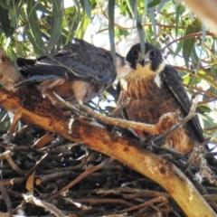 Falco longipennis (Australian Hobby) at Kambah, ACT - 18 Jan 2021 by HelenCross