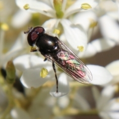 Psilota sp. (genus) (Hover fly) at Red Hill Nature Reserve - 17 Jan 2021 by LisaH