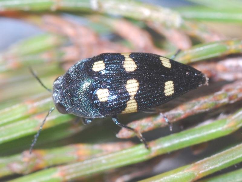 Astraeus (Astraeus) pygmaeus at Wyanbene, NSW - 17 Jan 2021