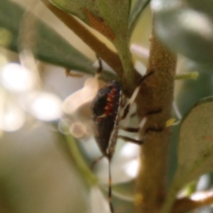 Pentatomidae (family) (Unidentified Shield or Stink bug) at Red Hill Nature Reserve - 17 Jan 2021 by LisaH