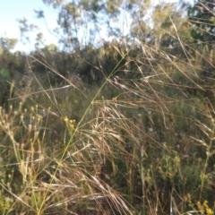 Austrostipa bigeniculata (Kneed Speargrass) at Tuggeranong Hill - 30 Nov 2020 by michaelb
