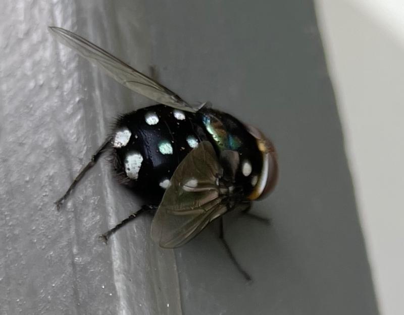 Amenia sp. (genus) at Chatswood, NSW - 19 Jan 2021