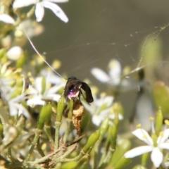 Nemophora sp. (genus) at Federal Golf Course - 19 Jan 2021