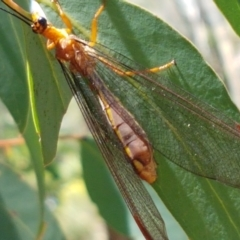 Nymphes myrmeleonoides (Blue Eyes Lacewing) at Dryandra St Woodland - 19 Jan 2021 by tpreston