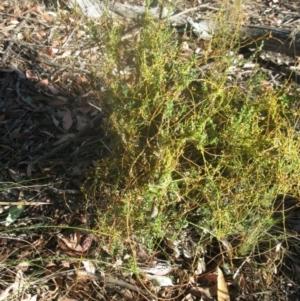 Cassytha sp. at Aranda Bushland - 16 Jan 2021