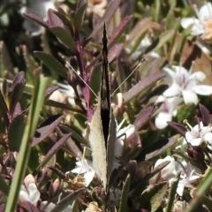 Junonia villida (Meadow Argus) at Aranda, ACT - 19 Jan 2021 by KMcCue