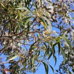 Acacia implexa at Dryandra St Woodland - 18 Jan 2021
