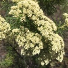 Cassinia longifolia (Shiny Cassinia, Cauliflower Bush) at Peak View, NSW - 19 Jan 2021 by Hank