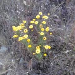 Xerochrysum viscosum (Sticky everlasting) at Jones Creek, NSW - 5 Nov 2011 by abread111