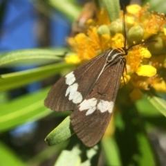 Nyctemera amicus (Senecio or Magpie moth) at Yarralumla, ACT - 17 Jan 2021 by PeterA