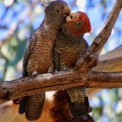 Callocephalon fimbriatum (Gang-gang Cockatoo) at Hughes Grassy Woodland - 19 Jan 2021 by LisaH