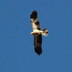 Haliastur sphenurus (Whistling Kite) at Murrumbateman, NSW - 13 Jan 2021 by davobj
