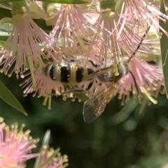 Radumeris tasmaniensis (Yellow Hairy Flower Wasp) at Murrumbateman, NSW - 19 Jan 2021 by SimoneC