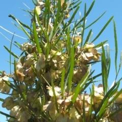 Dodonaea viscosa (Hop Bush) at Jones Creek, NSW - 16 Nov 2005 by abread111