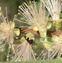 Glyphipterix chrysoplanetis (Sedge moth) at Murrumbateman, NSW - 19 Jan 2021 by SimoneC