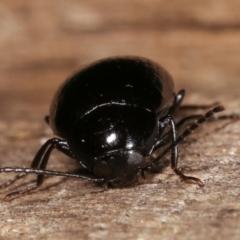 Amarygmus sp. (genus) (Darkling beetle) at Melba, ACT - 9 Jan 2021 by kasiaaus