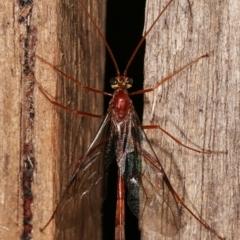 Distcamptus fuscicornis (Ophioninae Wasp) at Melba, ACT - 7 Jan 2021 by kasiaaus