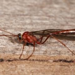 Dicamptus fuscicornis at Melba, ACT - 7 Jan 2021