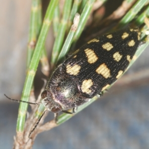 Astraeus crassus at Wyanbene, NSW - 17 Jan 2021