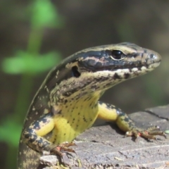 Eulamprus heatwolei (Yellow-bellied Water Skink) at Paddys River, ACT - 19 Jan 2021 by roymcd