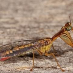 Mantispidae (family) (Unidentified mantisfly) at Melba, ACT - 10 Jan 2021 by kasiaaus