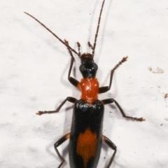 Copidita sp. (genus) (Oedemerid beetle) at Melba, ACT - 11 Jan 2021 by kasiaaus