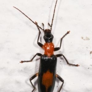 Copidita sp. (genus) at Melba, ACT - 11 Jan 2021