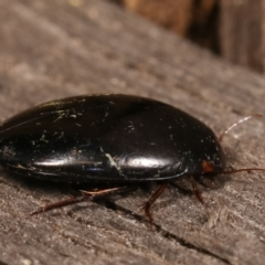 Dytiscidae sp. (family) (Unidentified diving beetle) at Melba, ACT - 11 Jan 2021 by kasiaaus