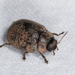Trachymela sp. (genus) (TBC) at Melba, ACT - 11 Jan 2021 by kasiaaus