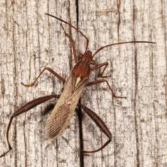 Melanacanthus scutellaris (Small brown bean bug) at Melba, ACT - 11 Jan 2021 by kasiaaus