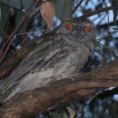 Podargus strigoides (Tawny Frogmouth) at Garran, ACT - 13 Jan 2021 by roymcd