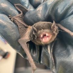 Chalinolobus gouldii (Gould's Wattled Bat) at Pialligo, ACT - 19 Jan 2021 by Ghostbat