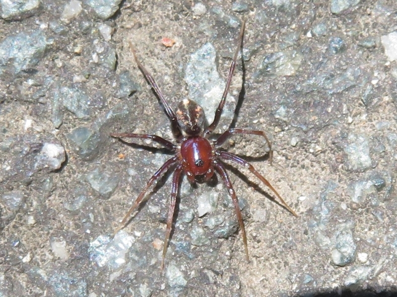 Habronestes sp. (genus) at Tidbinbilla Nature Reserve - 17 Jan 2021