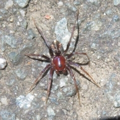 Habronestes sp. (genus) (An ant-eating spider) at Tidbinbilla Nature Reserve - 17 Jan 2021 by Christine