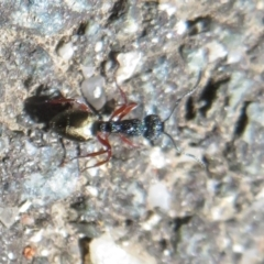 Dolichoderus scabridus (Dolly ant) at Tidbinbilla Nature Reserve - 17 Jan 2021 by Christine